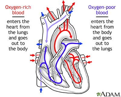 Circulation of blood through the heart