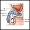 Vasectomy - series - Normal anatomy